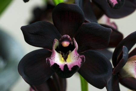Black orchid - flower, black, pink, orchid