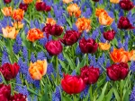 Vivid Tulips and Grape Hyacinth