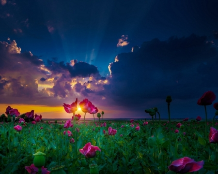 Sunset Over The Flowers Field - flowers, nature, sunset, clouds, sky, field, landscape