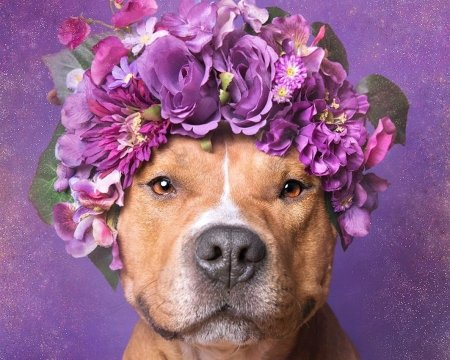 Cuteness - wreath, caine, animal, cute, sophie gamand, purple, flower power, funny, face, pink, dog