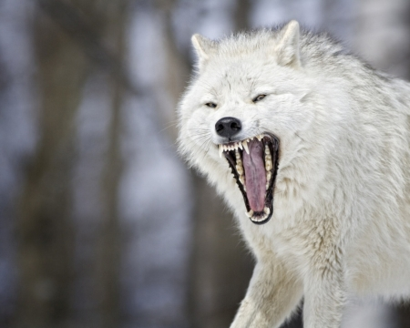 Angry White Wolf Dogs Animals Background Wallpapers On