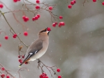 Winter Bird(Waxwing)