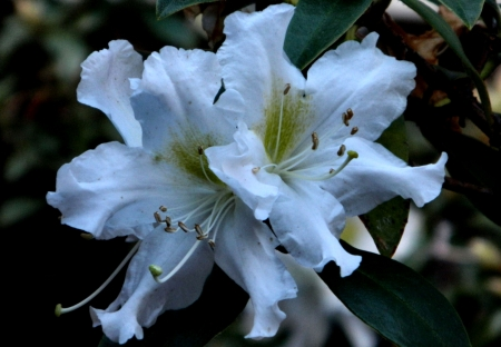 White Rhododendron F - photo, romance, beautiful, floral, photography, love, rhododendron, wide screen, flower, beauty