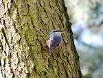 Colorful Nuthatch