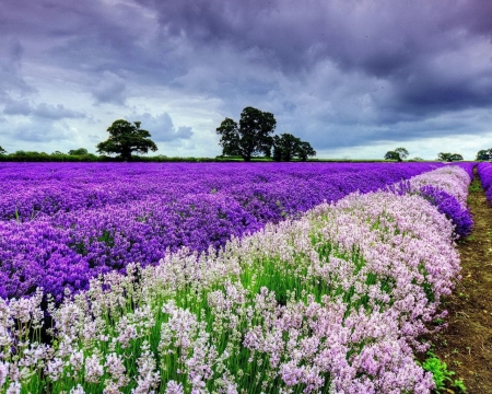 Purple and Pink Flowers - flowers, pink, purple, sky