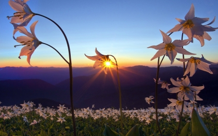 Horizon Sunset - dawn, horizon, sunset, sky, mountains, flowers, nature, petals, field
