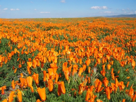 Poppies Field in California  - poppies, desert, flowers, field, nature