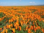 Poppies Field in California