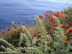 Seaside Hydra Poppies