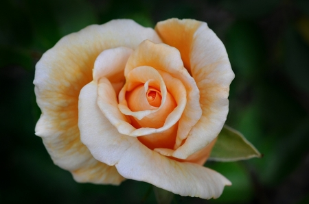 For You - orange, beautiful, rose, one