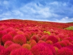 Hitachi Seaside Park,Japan