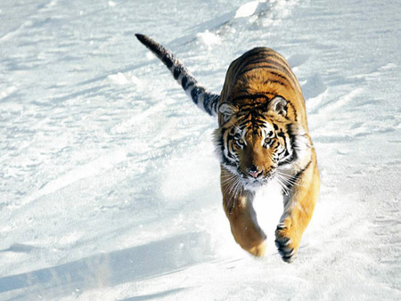 Chasing Prey - snow, prey, stripes, black, animal, hunter, orange, life, run, tiger, cat, nature