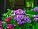 Season  of hydrangeas