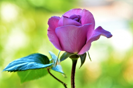 Purple Love - one, garden, purple, rose