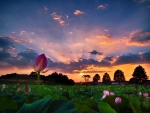 Sunset over the Flower Field