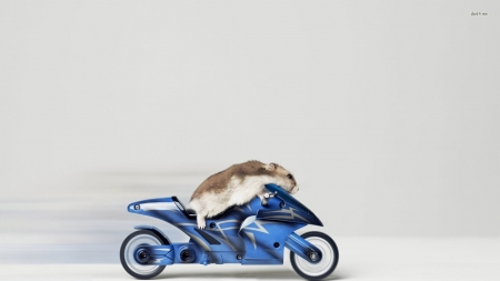 hamster on a motorcycle - motorcycle, animal, hamster, rodent