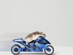 hamster on a motorcycle