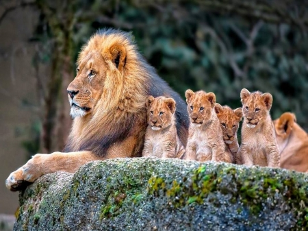 King and kids - king, cubs, male, lion