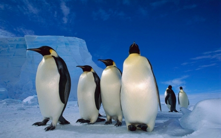 emperor penguins - ice, bird, emperor, penguin