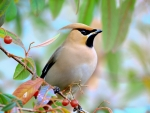 Waxwing Bird on the Branch