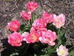 More Spring Tulips