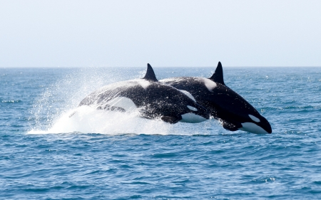 Orca Whales in the Wild - whales, orca, animals, ocean