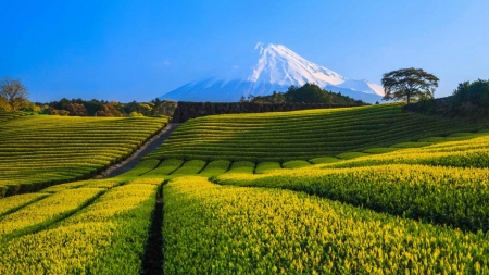 Fuji Tea Fields - mountain, japan, japanese, nature, fields, tea, scenery, fuji