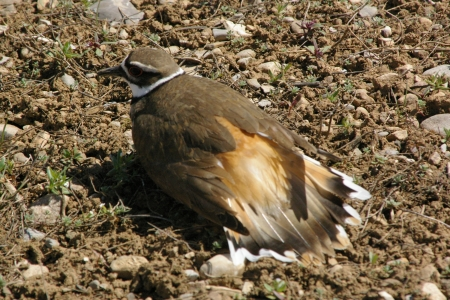 Killdeer Protecting Nest - Nest, Killdeer, Eggs, Idaho, Teton Valley, Valley, Birds
