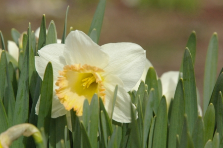Daffodil in the Sun - Landscape, Daffodils, May, Spring, Flowers