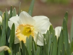 Daffodil in the Sun