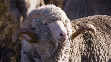 merino sheep - merino, sheep, ram, wool