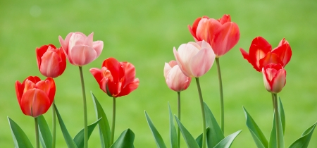 Spring Tulips - pink, tulips, green, flowers, red, Spring