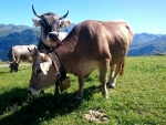 Cows on a Farm in Swiss Alps