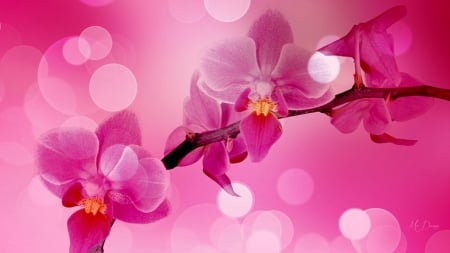 Pink Orchid Bokeh - exotic, shine, delicate, floral, bokeh, orchid, bright, flowers, pink
