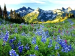 Lupines near the Mountains
