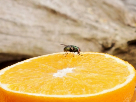 Vitamin C For A Fly - Photography, Fly, Nature, Orange