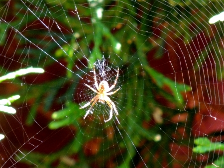 Spider And His Web - Web, Nature, Spider, Photography, Cedar Tree