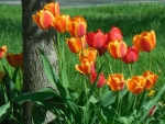 Orange & Red Tulips
