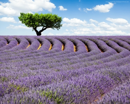 Beautiful Lavender Field - sky, lavender, meadows, clouds, trees, nature