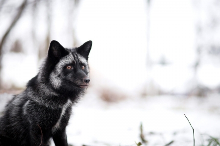 Fox - black, wild, fox, animals