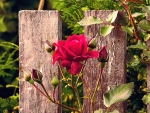 Red Rose at the Fence