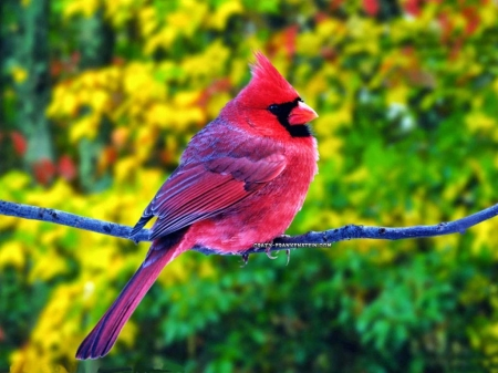 colorful birds - colorful, birds, red, nature