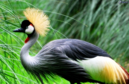 crowned crane - birds, beautiful, crowned, crane