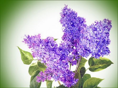 Simply lilac - flowers, purple, lilacs, green