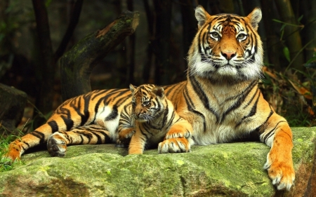 Tigers - tigers, animals, rock, nature
