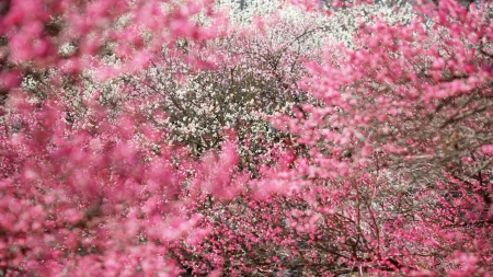 Flowering Trees - flowers, pink, trees, sky