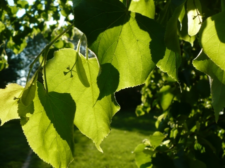 leaves - leaf, sunny, sun, lime, gorgeous, spring, golden, branch, leaves, sunset, green, basswood, beautiful, tree