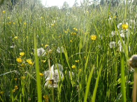 meadow - buttercup, yellow, flowers, meadow, green field, white, flower, dandelion, grass, mead, green, beautiful, field