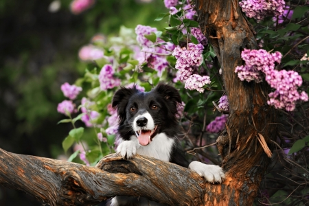 Border Collie dog performs the trick in a lavender garden - garden, lavender, flowers, dog, puppy, spring, lvoely, pretty, border, collie, trick, beautiful, tree