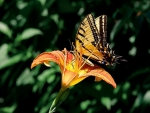 Swallowtail on lily